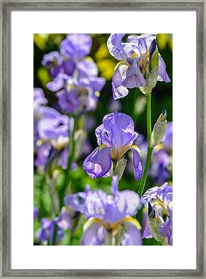 Irisses Framed Print by Rainer Kersten