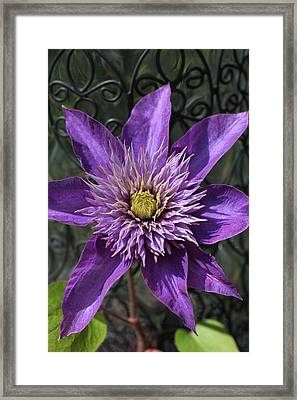 Iron Swirl Clematis Framed Print by Tammy Pool