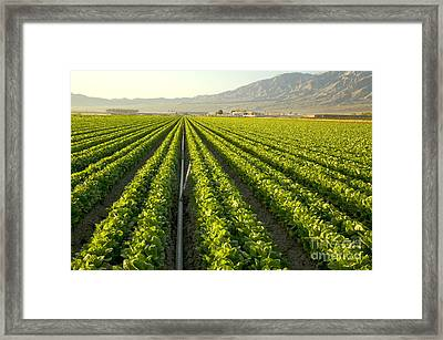 Irrigation Pipe In A Lettuce Field Framed Print by Inga Spence