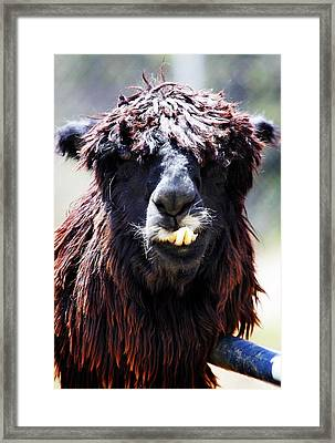 Framed Print featuring the photograph Is Your Mama A Llama? by Anthony Jones