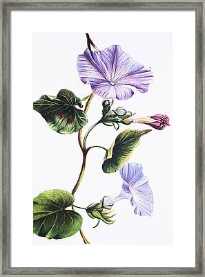 Isabella Sinclair - Pohue Framed Print