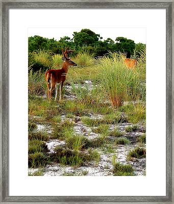 Island Deer Framed Print by Michael Shreves