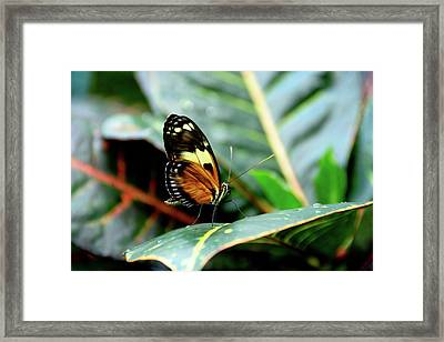 Ismenius Tiger Butterfly-2 Framed Print