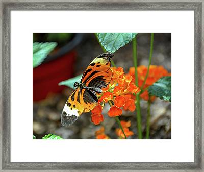 Ismenius Tiger Butterfly Framed Print