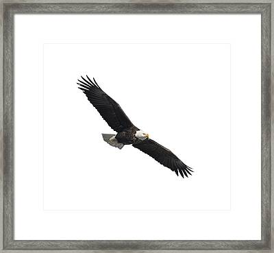 Isolated American Bald Eagle 2016-2 Framed Print