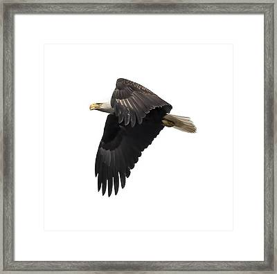 Isolated American Bald Eagle 2016-6 Framed Print
