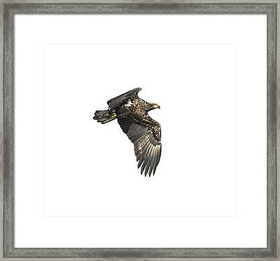 Framed Print featuring the photograph Isolated Eagle 2017-2 by Thomas Young
