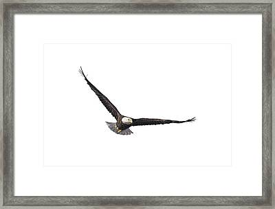 Isolated Eagle 2017-3 Framed Print by Thomas Young