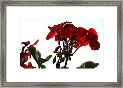 Isolated Red Geranium Framed Print by Karen Fowler