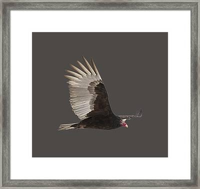 Isolated Turkey Vulture 2014-1 Framed Print