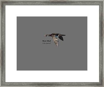 Isolated Wood Duck 2017-1 Framed Print