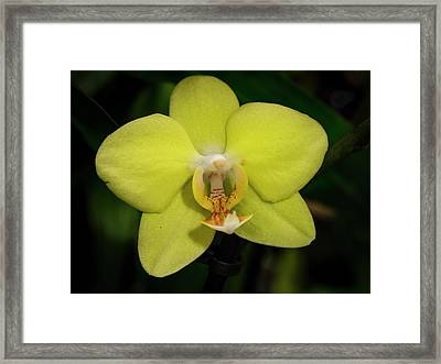 Isolated Yellow Orchid Framed Print by Jean Noren