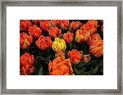 Isolated Yellow Tulip Framed Print by Jean Noren