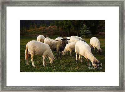 It Ain't Necessarily So Imagery With Black Sheep In Flock Framed Print by Alexandra K