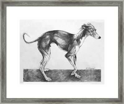Italian Greyhound Framed Print by Derrick Higgins