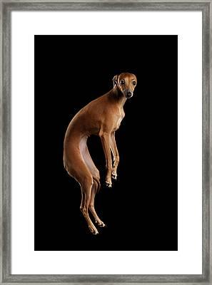 Italian Greyhound Dog Jumping, Hangs In Air, Looking Camera Isolated Framed Print by Sergey Taran