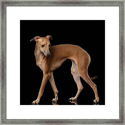 Italian Greyhound Dog Standing  Isolated Framed Print