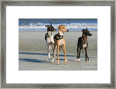 Italian Greyhounds On The Beach Framed Print