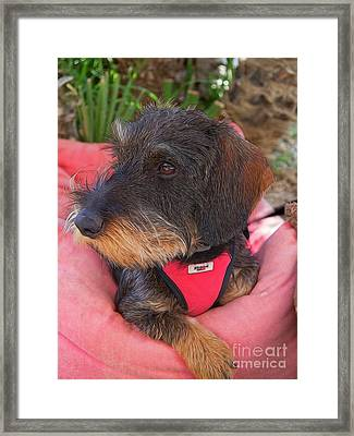 Its A Dogs Life Framed Print by Gillian Singleton