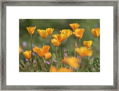 Framed Print featuring the photograph It's A Poppy Thing  by Saija Lehtonen