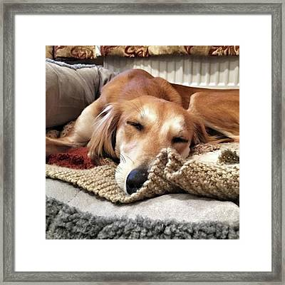 It's Been A Hard Day...  #saluki Framed Print