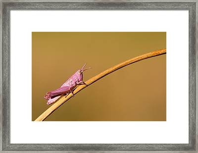 It's Not Easy Being Pink Framed Print by Roeselien Raimond