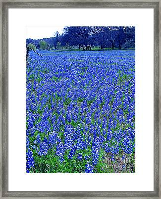 It's Spring - Texas Bluebonnets Time Framed Print