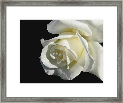 Ivory Rose Flower On Black Framed Print by Jennie Marie Schell