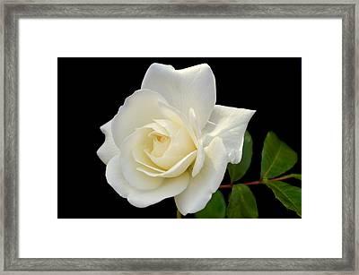 Ivory Rose. Framed Print