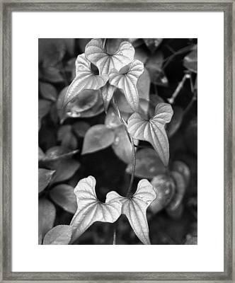 ivy Framed Print by Curtis J Neeley Jr