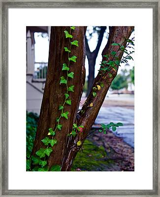 Ivy In Williamsburg Framed Print