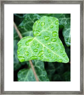 Ivy Leaf Framed Print by Michael Peychich