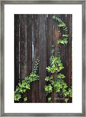 Ivy On Fence Framed Print