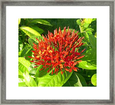 Ixora Framed Print by Addie Hocynec