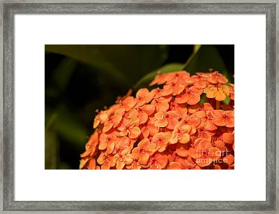 Ixora Flower Cluster Framed Print by Jorgo Photography - Wall Art Gallery