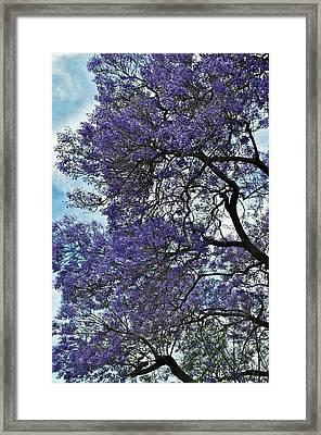 Jacaranda Clouds Framed Print by Gwyn Newcombe