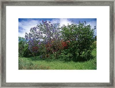Jacarandra Tree Blooming In Maui Framed Print by George Oze