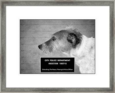 Jack Russell Terrier Mugshot - Dog Art - Black And White Framed Print by SharaLee Art