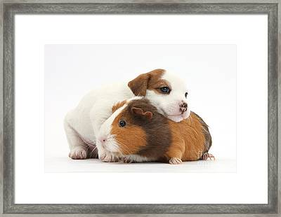 Jack Russell Terrier Puppy Guinea Pig Framed Print by Mark Taylor