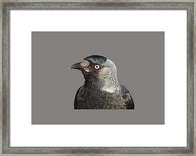 Jackdaw Corvus Monedula Bird Portrait Vector Framed Print