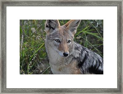 Jackel Posing Framed Print by Joe  Burns