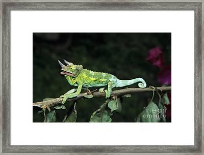 Jacksons Chameleon On Branch Framed Print