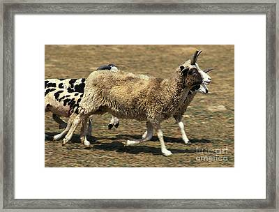 Jacob Sheep Framed Print by Gerard Lacz