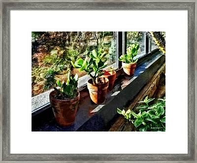 Jade Plants In Greenhouse Framed Print by Susan Savad