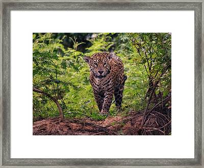 Framed Print featuring the photograph Jaguar      by Wade Aiken