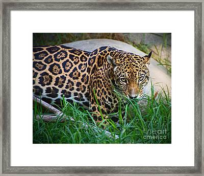 Jaguar In Grass Framed Print