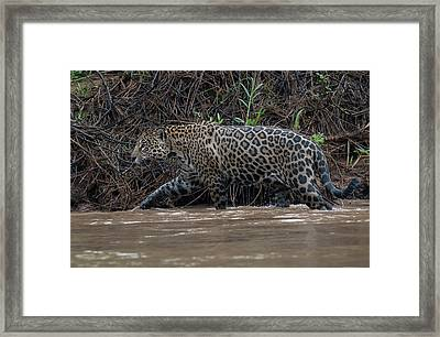 Framed Print featuring the photograph Jaguar In River by Wade Aiken
