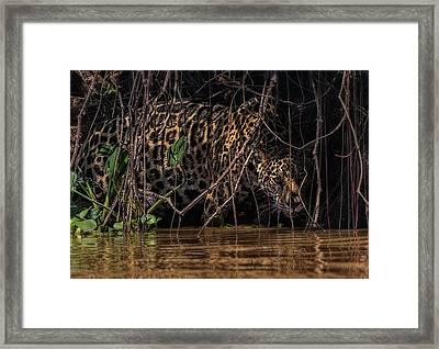 Framed Print featuring the photograph Jaguar In Vines by Wade Aiken