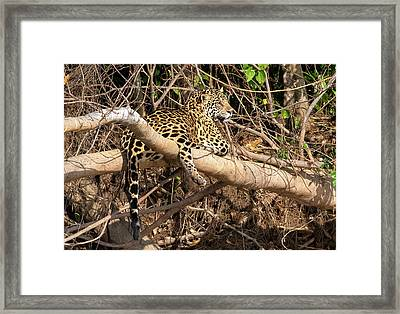 Framed Print featuring the photograph Jaguar In Repose by Wade Aiken