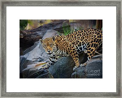 Jaguar Pose Framed Print